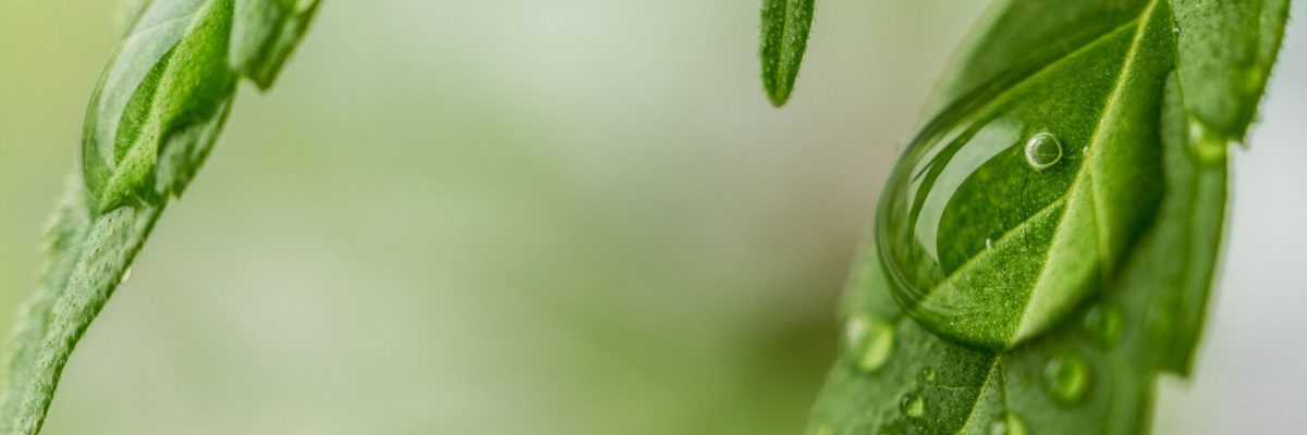 hemp_plant_supplements